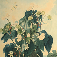 The Oblique Leaved Begonia (detail) by Dr. Robert John Thornton Caldwell