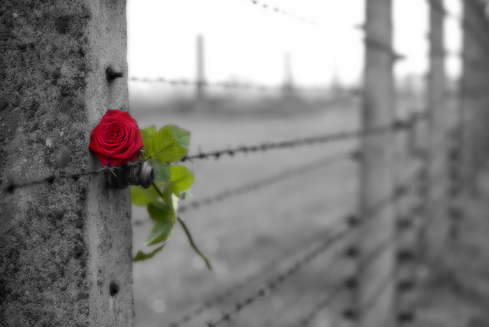 Red rose placed on barbed-wire fence